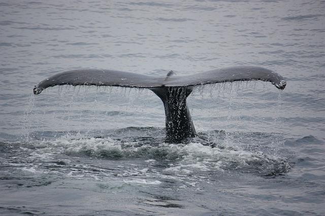ploutec velryby
